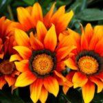 879 Як виростити квітку газанія на ділянці?
