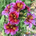 1569 Доступные и красивые цветы сальпиглоссис