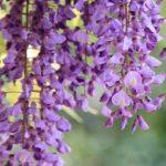 1492 Гліцинія — квітка дивовижної краси