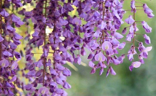 Гліцинія — квітка дивовижної краси
