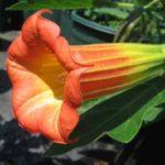 1016 Особливості вирощування квітки бругмансия