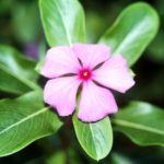 1036 Особливості вирощування квітки катарантус