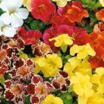 1014 Особливості вирощування квітки мімулюс