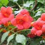 1472 Уход и выращивание цветка кампсис