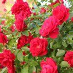 1523 В'юнка троянда — королева вашого саду