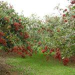 1026 Як виростити малинове дерево?