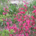 1496 Яскравий і неймовірний квітка кларкия