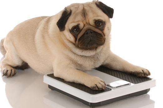 Чем опасно ожирение у домашних животных?