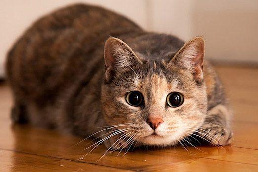 Найпопулярніші породи короткошерстих кішок