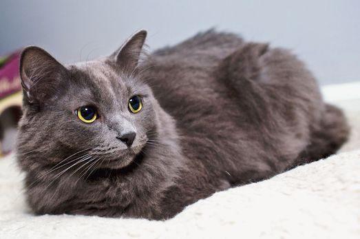 Нибелунг — кішка з сильним характером