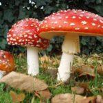 1817 Перша допомога при отруєнні грибами