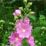 1733 Полезные свойства растения алтей