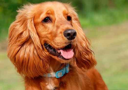 Как ухаживать за собакой породы кокер спаниель?