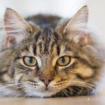 2451 Симптоми харчової алергії у домашніх тварин