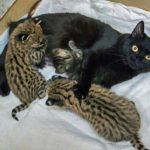 4231 Домашние кошки взяли на воспитание диких зверенышей