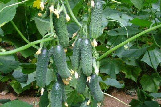 4416 Збільшуємо врожайність огірків в кілька разів