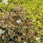 4724 Ирландский мох от кашля инструкция по применению, ягель отзывы