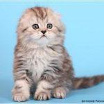 6287 Котята породы хайленд-фолд, самые милие и пушистые создания