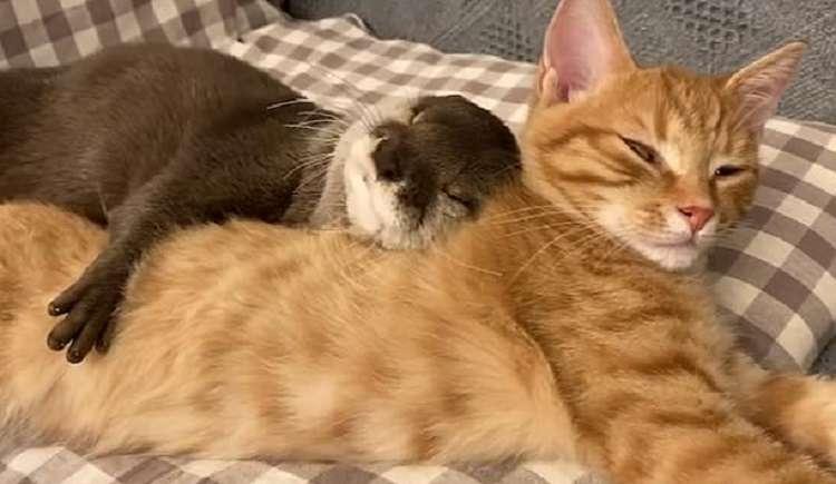 6296 Трогательное видео: выдра и кошка сладко спят в обнимку.